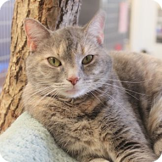 Domestic Shorthair Cat for adoption in Naperville, Illinois - Toonces
