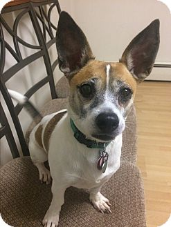 Terrier (Unknown Type, Small) Mix Dog for adoption in Manchester, Connecticut - Fritzy in CT