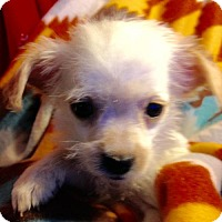 Yorkie, Yorkshire Terrier/Pomeranian Mix Puppy for adoption in Colton, California - !   3 Angie