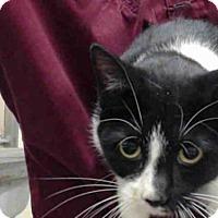 Domestic Mediumhair Cat for adoption in Tavares, Florida - JUNO