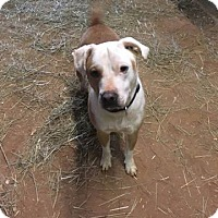 American Bulldog Mix Dog for adoption in Pittsboro, North Carolina - Sammy Elliott