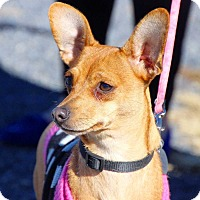 Dachshund/Chihuahua Mix Dog for adoption in Coopersburg, Pennsylvania - Daisy