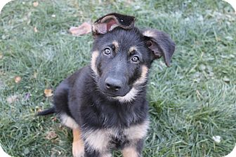 German Shepherd Dog Mix Puppy for adoption in Flemington, New Jersey - Brody