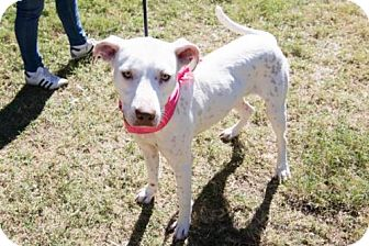 Dalmatian Mix Dog for adoption in Houston, Texas - TAMARA