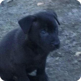Labrador Retriever/German Shepherd Dog Mix Puppy for adoption in Oakley, California - Bear