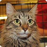 Maine Coon Cat for adoption in Garland, Texas - Miracle