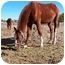 Photo 1 - Standardbred Mix for adoption in Pueblo, Colorado - Romeo