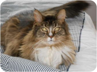 Maine Coon Cat for adoption in Jeffersonville, Indiana - Radar