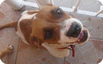 Beagle/Harrier Mix Dog for adoption in San Diego, California - Tona