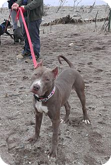 American Pit Bull Terrier Mix Puppy for adoption in bridgeport, Connecticut - Judge