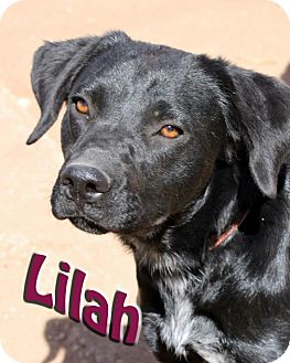 Labrador Retriever Mix Dog for adoption in Midland, Texas - Lilah