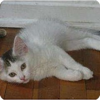 Adopt A Pet :: Turkish Angora - Oxford, CT