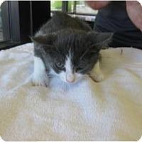 Adopt A Pet :: Sami - Los Alamitos, CA