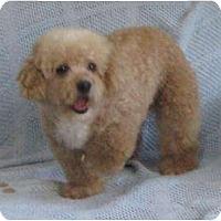 Adopt A Pet :: Peaches N Cream - Antioch, IL