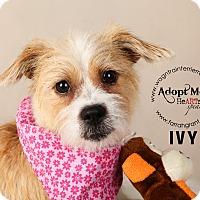 Adopt A Pet :: Ivy - Omaha, NE