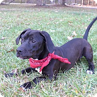Adopt A Pet :: Ollie - Mocksville, NC