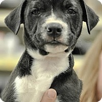 Adopt A Pet :: Charlie Weasley - Gainesville, FL