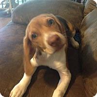 Adopt A Pet :: Kuper Gamber - Waldorf, MD