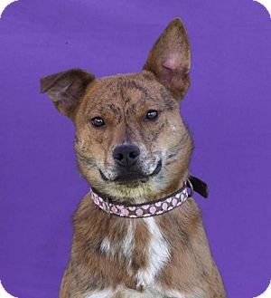 American Staffordshire Terrier Mix Puppy for adoption in Toluca Lake, California - Bambi