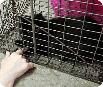 Turkish Angora Cat for adoption in Acworth, Georgia - Little Bit