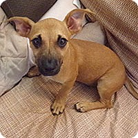 Chihuahua Mix Puppy for adoption in Chantilly, Virginia - Triplets Aspen