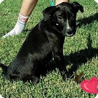 Adopt A Pet :: Puppy Linus - Austin, TX