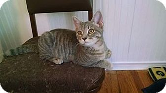 Domestic Shorthair Kitten for adoption in Davison, Michigan - Gracie