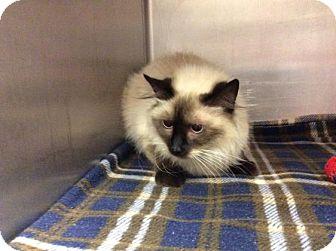 Siamese Cat for adoption in Janesville, Wisconsin - Jupiter