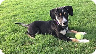 Labrador Retriever/Beagle Mix Puppy for adoption in Memphis, Tennessee - Piper
