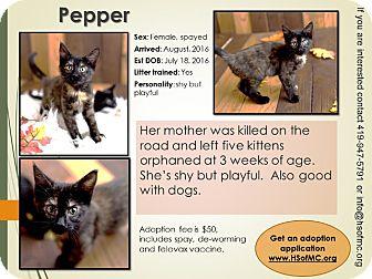 Domestic Shorthair Kitten for adoption in Mount Gilead, Ohio - Pepper