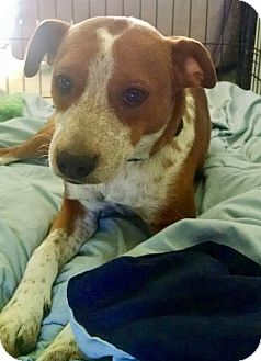 Beagle/English Springer Spaniel Mix Puppy for adoption in HAGGERSTOWN, Maryland - SCOUT