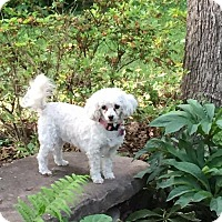 Toy Poodle/Maltese Mix Dog for adoption in Tulsa, Oklahoma - Diamond