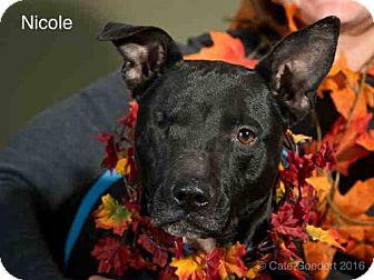 Labrador Retriever Dog for adoption in Santa Fe, New Mexico - NICOLE