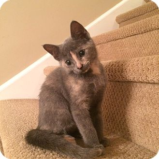 Domestic Shorthair Kitten for adoption in Carlisle, Pennsylvania - Minnie