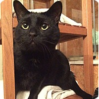 Adopt A Pet :: Smudge *declawed* - Toronto, ON
