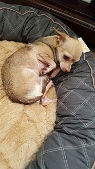 Chihuahua Mix Dog for adoption in Powder Springs, Georgia - Harrison