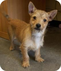 Chihuahua/Terrier (Unknown Type, Small) Mix Puppy for adoption in Sparta, New Jersey - Kato