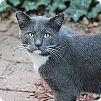 Adopt A Pet :: Big Gray - Chicago, IL