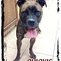 Adopt A Pet :: Chickie - Dearborn, MI