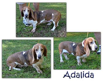 Basset Hound Dog for adoption in Marietta, Georgia - Adalida