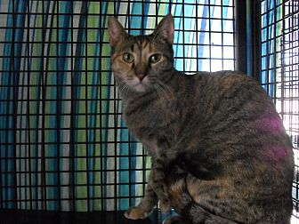 Domestic Shorthair Cat for adoption in St. Louis, Missouri - Ivy-Special Adoption Rates