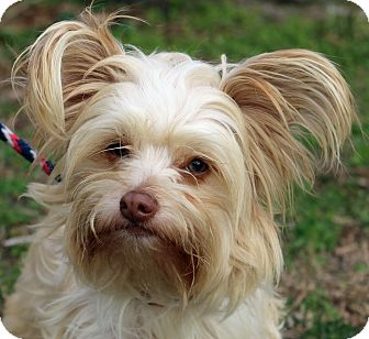 yorkie for adoption in nc newport nc yorkie yorkshire terrier mix meet corky a 8943