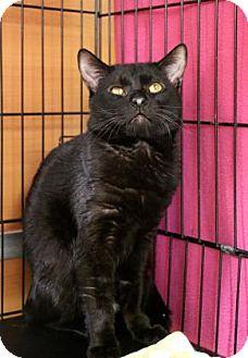 Domestic Shorthair Cat for adoption in Gloucester, Massachusetts - Bernie