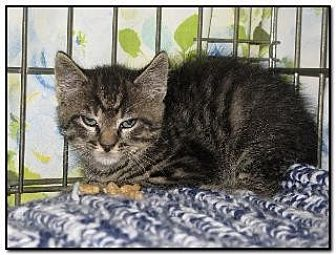 Domestic Shorthair Cat for adoption in Hamilton, New Jersey - BOLT