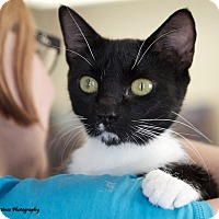 Domestic Shorthair Cat for adoption in Huntsville, Alabama - Boots
