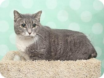 Domestic Shorthair Cat for adoption in Chippewa Falls, Wisconsin - Jager