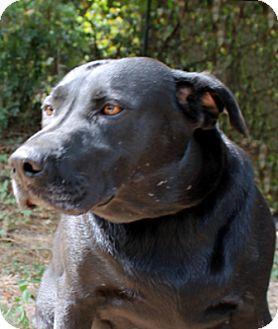Labrador Retriever Dog for adoption in The Woodlands, Texas - Sugar