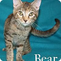 Domestic Shorthair Kitten for adoption in Jackson, Mississippi - Bear