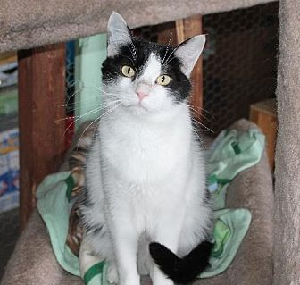 Domestic Shorthair Cat for adoption in Golden Valley, Arizona - Dori