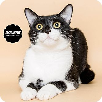 Domestic Shorthair Cat for adoption in Wyandotte, Michigan - McMurphy